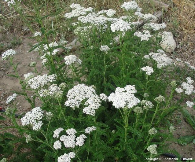 Cultiver achillée millefeuille - Achillée millefeuille fleurs balanches