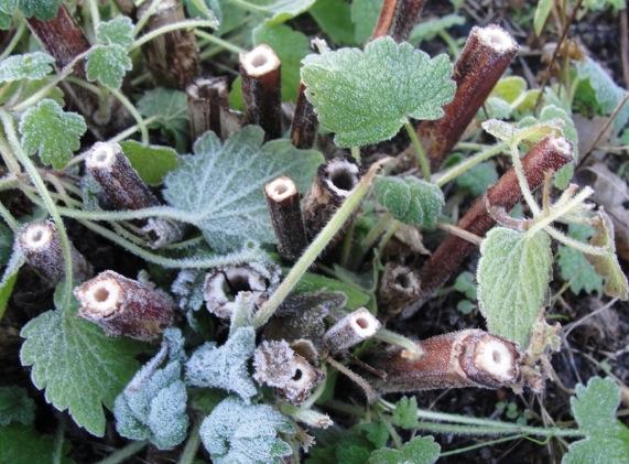Cultiver Agripaume (Leonurus cardiaca) - Agripaume 5