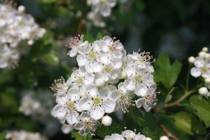 Cultiver aubépine - Aubépine (Crataegus monogyna)