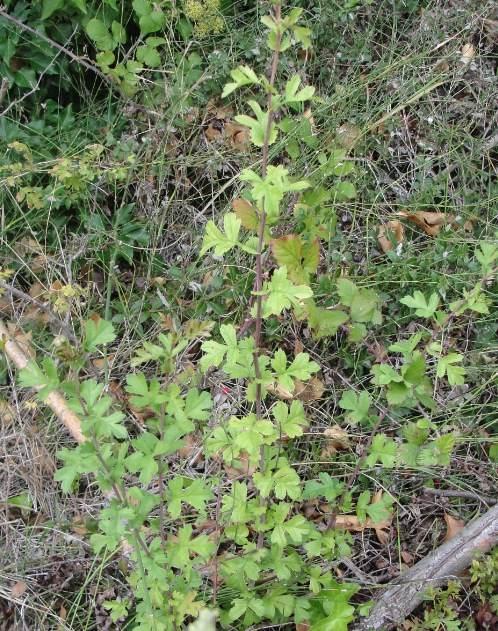 Cultiver aubépine - Jeune plant d'aubépine (Crataegus monogyna)