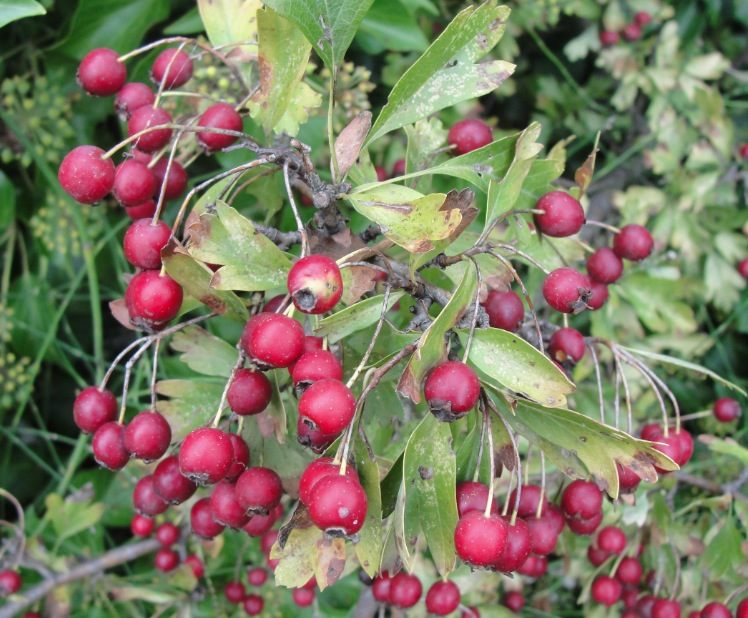 Cultiver aubépine- A l'automne, plein de fruits