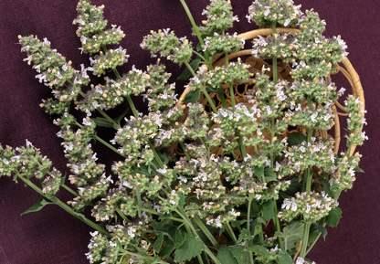 Cultiver Cataire - Cataire (Nepeta cataria)