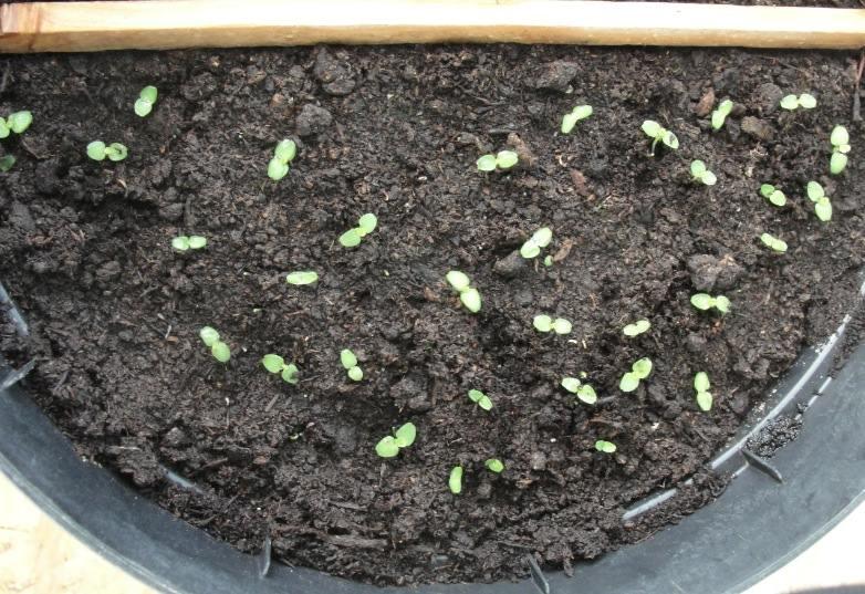Eclaircir les semis - Résultat final