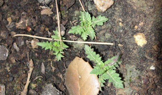 Semer - Lycope (Lycopus europaeus) au printemps