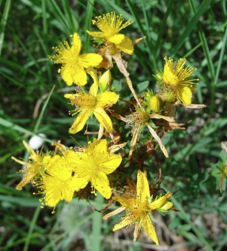 Cultiver Milleperthuis - Millepertuis (Hypericum perforatum)