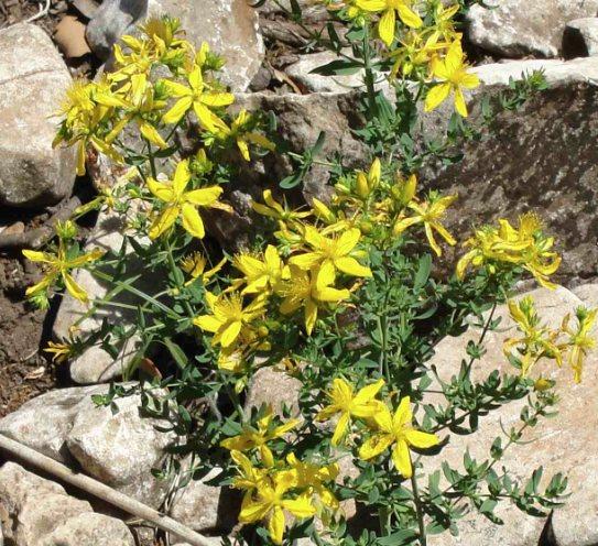 Cultiver Milleperthuis - Tête fleurie de Millepertuis (Hypericum perforatum)