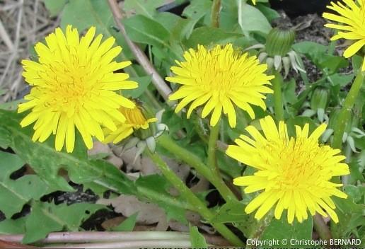 Cultiver Pissenlit - Pissenlit (Taraxacum officinale)