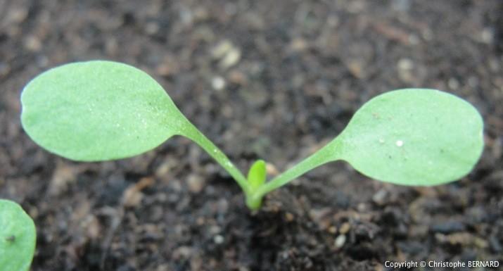 Cultiver Pissenlit - Pissenlit (Taraxacum officinale) - 2 feuilles