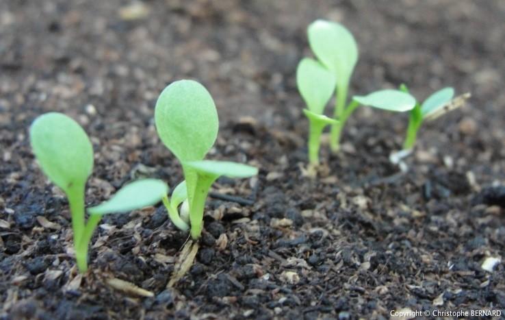 Cultiver Pissenlit - Quelques amis Pissenlit