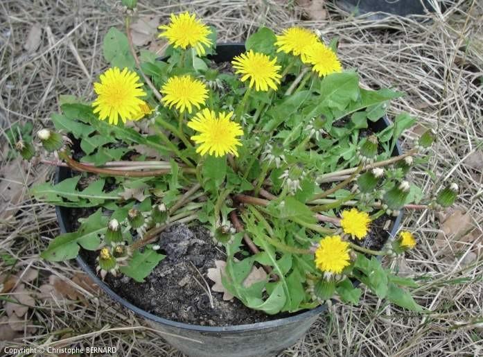 Cultiver Pissenlit - Pissenlit en fleurs