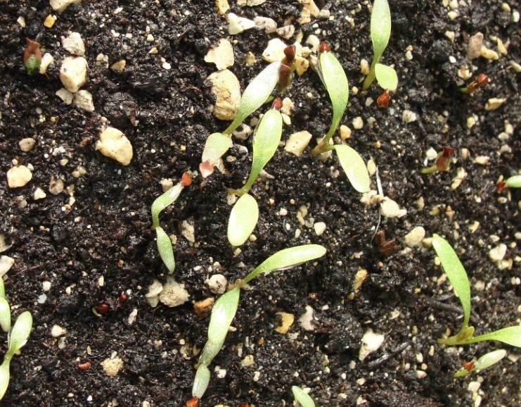 Bac à semis - Les plants qui poussent