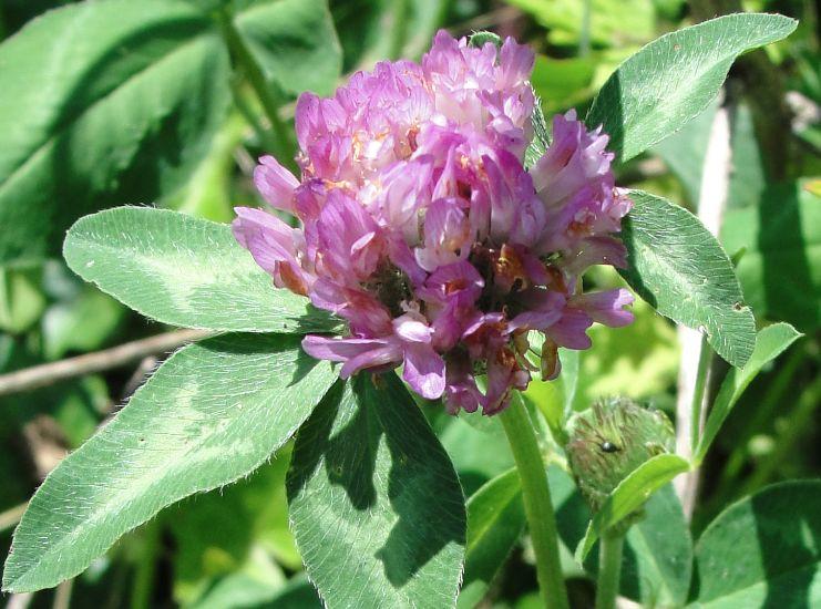 Cultiver trèfle - Trèfle (Trifolium pratense) en fleur