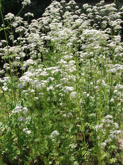 Cultiver Valériane - Valériane au jardin